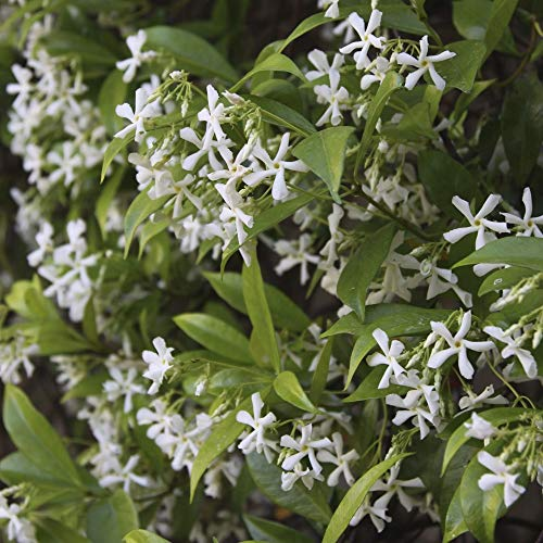 Cottage Hill Star Jasmine - 2 Piece Live Plant, White Blooms by Cottage Hill (Image #4)