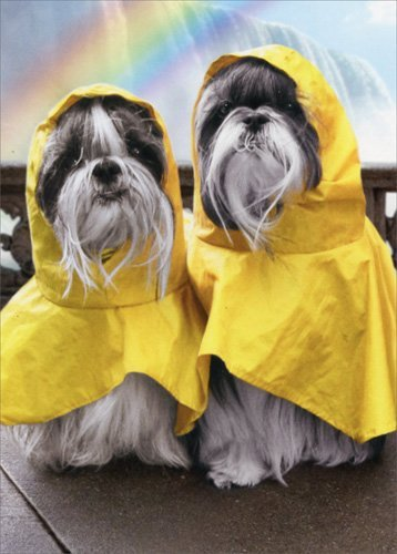 Rain Poncho Dogs At Waterfalls - Avanti Funny Shih Tzu Anniversary Card