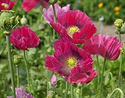 Hen and Chickens - Somniferum Poppy Seeds