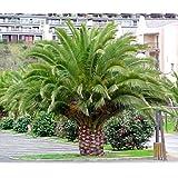 Canary Island Date Palm 15 Seeds Phoenix