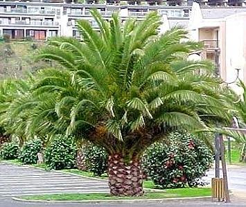 Canary island date palm region