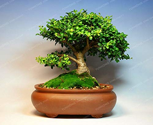 50 PCS Boxwood Bonsai Bonsai Absorb Formaldehyde Bonsai Bonsai for DIY Home Garden Plant Beautiful Improve The Environment