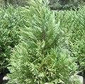 Leyland Cypress, FIVE plants, upright evergreen plants