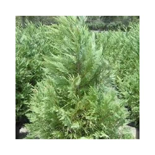 Leyland Cypress, FIVE plants, upright evergreen plants