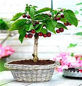 10 Semillas de las PC mini cereza, cereza Mixta miniatura, raras semillas de frutas vegetales orgánicos de la herencia, jardín en miniatura, de plantas para el jardín 12