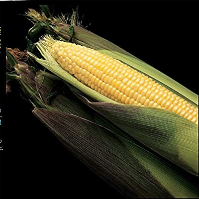 Kandy Korn Hybrid Corn Garden Seeds - Non-GMO Vegetable Gardening Seeds - Yellow Sweet (SE) Corn Seed