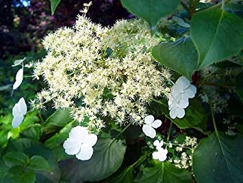 Hydrangea petiolaris climbing wall shrub white flowers 2 litre pot hydrangea petiolaris climbing wall shrub white flowers 2 litre pot mightylinksfo
