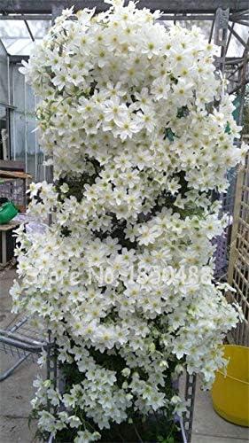 Semillas de lila de escalada de flores raras 50 piezas/bolsa ...
