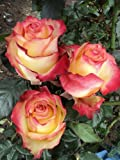 100 Fresh Bi-Color Yellow Roses | 50 cm. long (20'')