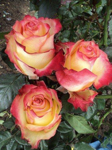 100 Fresh Bi-Color Yellow Roses | 50 cm. long (20'') by FarmDirect