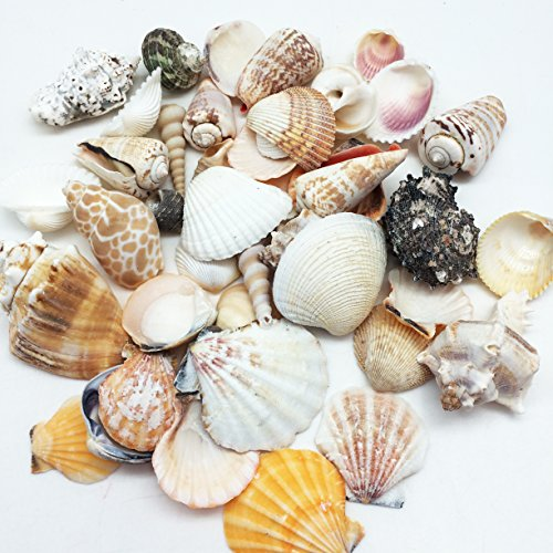 PEPPERLONELY Medium World Mixed Sea Shells, 16 OZ Apprx.50+ PC Shells, 1 Inch ~ 3 Inch (Pc World Office)