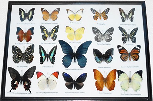 GABUR Set Real 20 Mix Butterflies Collection Gifts Taxidermy Framed 18.70 x 12.80 x 1.50 Inches Black