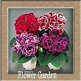 Best-Selling!9 Colors Gloxinia Seeds Perennial Flowering Plants Sinningia Speciosa Bonsai Balcony,100 PCS/Bag,#XV6RKP
