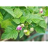 Salmonberry Bush - 1 Bare Root Plant - Rubus spectabilis - Salmonberries - By Yumheart Gardens
