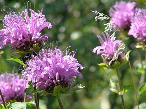 Butterfly Attracting Flower Selection List collection butterflies zellajake Bee (Bergamot Wild (Native Garden Collection)