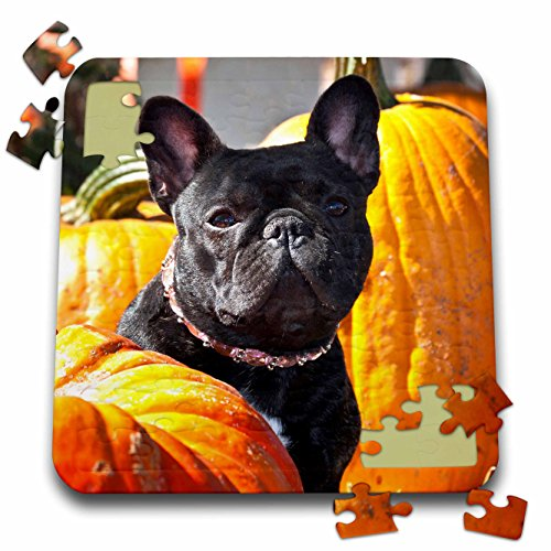 Danita Delimont - Dogs - A French Bulldog between a row of pumpkins - NA02 ZMU0118 - Zandria Muench Beraldo - 10x10 Inch Puzzle (French Halloween Puzzle)