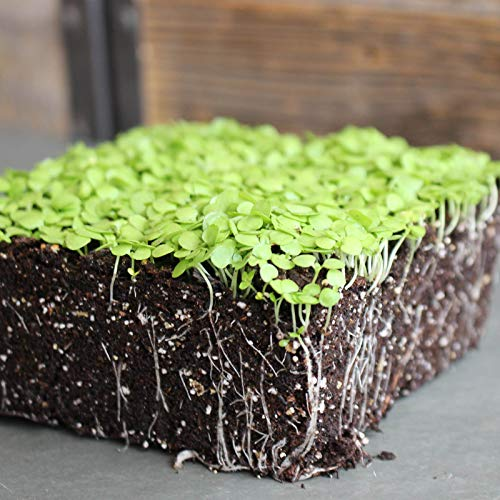 Paracress Seeds - 1 Lb - Non-GMO Medicinal Herb Garden & Microgreens Seeds - AKA: Toothache Plant, Electric Daisy, Eyeball Plant, Peek-A-Boo, Electric Buttons by Mountain Valley Seed Company (Image #1)