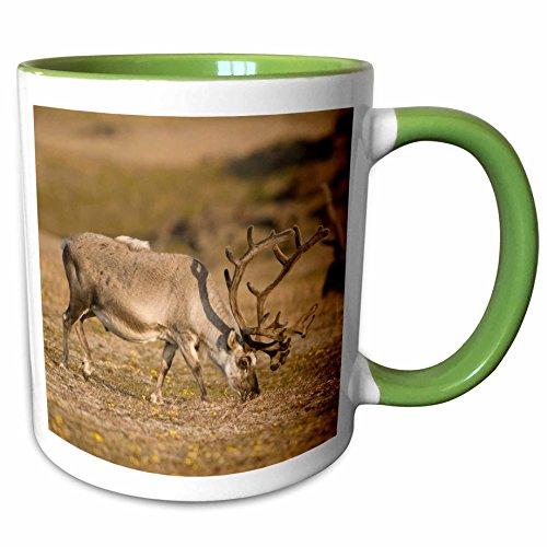 (3dRose Danita Delimont - Steve Kazlowski - Deer - Norway, Svalbard, Spitsbergen. Svalbard reindeer forages on the tundra - 15oz Two-Tone Green Mug (mug_189174_12))