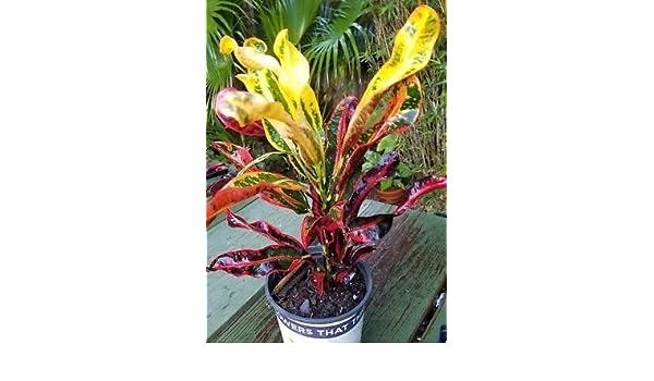 extensa  large live plant cutting bromeliad portea petropolitana var