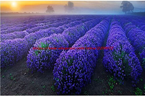 200 French Provence Lavender Seeds Very Fragrant can grow well in Bonsai organic lavender seeds plant Home Garden Bonsai - Well Fragrant Garden