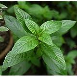 300+ Peppermint Seeds- Heirloom Herb- by Ohio Heirloom Seeds