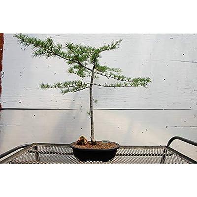 27 Year Old Himalayan Cedar Specimen Bonsai Tree: Garden & Outdoor