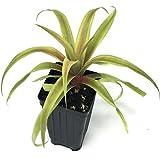 PINEAPPLE PLANT 'White Jade' Ananas comosus Live Plant edible core