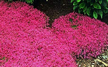 200 Creeping Thyme Seeds Flower Seeds Rock CRESS Ground Cover Seeds Caet Evergreen Plant Easy to Grow for Garden Lawn Red