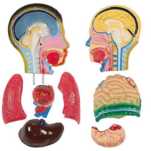 Human Torso Model 23 Inch Anatomical Tabletop Replica Perfect