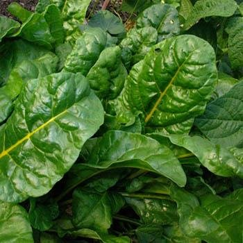 Outsidepride Swiss Chard Green - 1000 Seeds