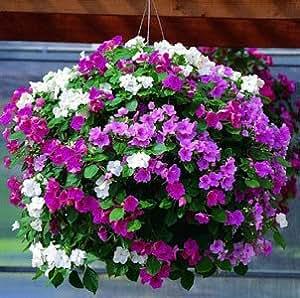 500 PC semillas de gloria de la mañana, semillas de petunia, petunia balcón bonsai flor, enviar regalos color de rosa, semillas de bricolaje en casa y el jardín