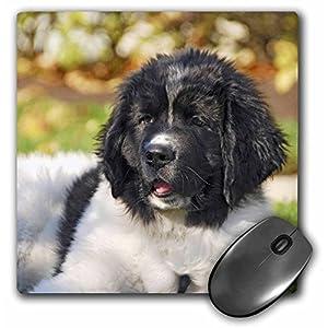 3dRose LLC 8 x 8 x 0.25 Inches Mouse Pad, Oregon Portland Landseer Newfoundland Dog Puppy Jaynes Gallery (mp_93609_1) 37