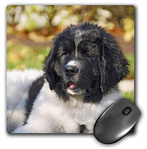 - 3dRose LLC 8 x 8 x 0.25 Inches Mouse Pad, Oregon Portland Landseer Newfoundland Dog Puppy Jaynes Gallery (mp_93609_1)