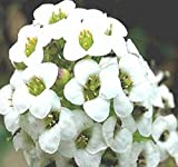 2,000 Alyssum Sweet Alice Flower Seeds - Bees Birds Fragrant Blooms Butterflies ~