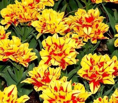 Tulipa Monsella - Tulip Monsella - 5 bulbes GardenSeedsMarket