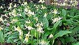 White Pagoda Violet 10 Seeds - Erythronium - Perennial