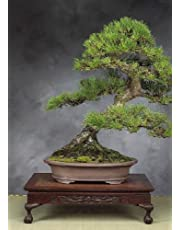 TROPICA - Japanese black pine (Pinus thunbergii) - 30 Seeds - Bonsai