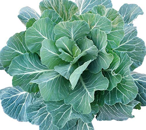 ORGANICALLY Southern Seeds Collards Heirloom product image