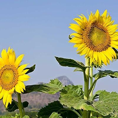 Sunflower Garden Seeds - Mammoth Grey Stripe - Annual Sun Flower Gardening Seeds - Gray