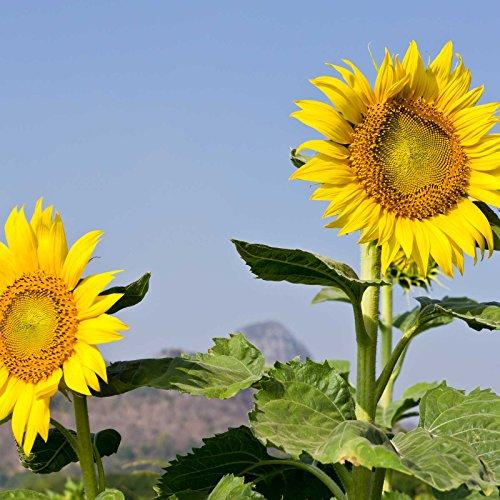 Sunflower Garden Seeds - Mammoth Grey Stripe - 1 Lb - Annual Sun Flower Gardening Seeds - Gray -