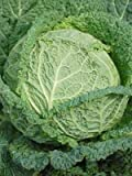 Cabbage Savoy Perfection Great Heirloom Vegetable BULK 12,000 Seeds