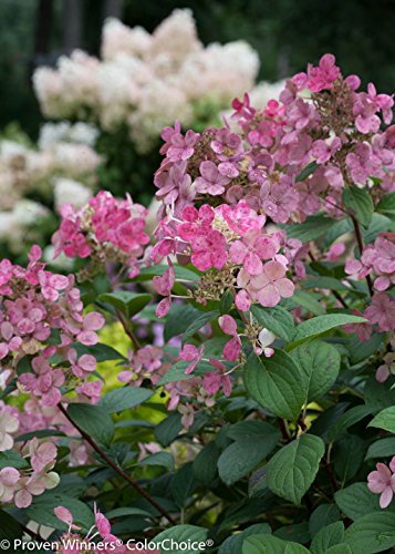 Little Quick Fire Hardy Hydrangea (Paniculata) Live Shrub, White to Pink Flowers, 1 Gallon by Proven Winners (Image #4)