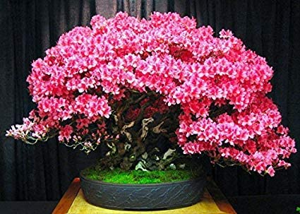Amazon Com Bonsai Judas Tree Seeds 10 Seeds Flowering Tree Prized For Bonsai Garden Outdoor