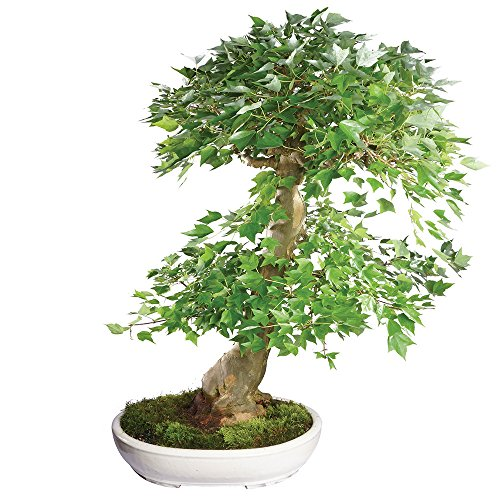 Brussel's Live Trident Maple Specimen Outdoor Bonsai Tree - 45 Years Old; 31