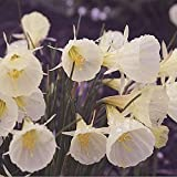 10 Large Bulbs of Narcissus Bulbocodium spoirot