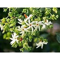 Modern Plants Live Harshringar/Parijat/Coral Jasmine Medicinal Flower Plant With Pot