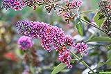 Mini Garden BUDDLEIA 'BICOLOR' - BUTTERFLY BUSH - STARTER PLANT - FRAGRANT