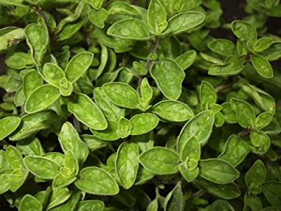 Oregano, Wild Marjoram (Origanum vulgare L.) Herbal Plant Heirloom Seeds, Valuable Culinary Herb