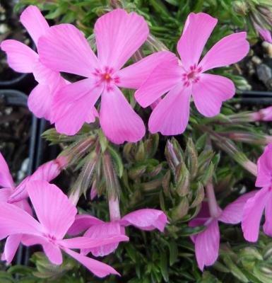 Classy Groundcovers - Phlox subulata 'Drummond's Pink' (Phlox 'Drummond's Pink', Creeping Phlox, Moss Phlox) {24 Pots - 3 1/2 in.}