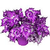 50pcs/Bag Coleus Color Begonia Bonsai Flower Plants Balcony Home Garden Decor (purple)